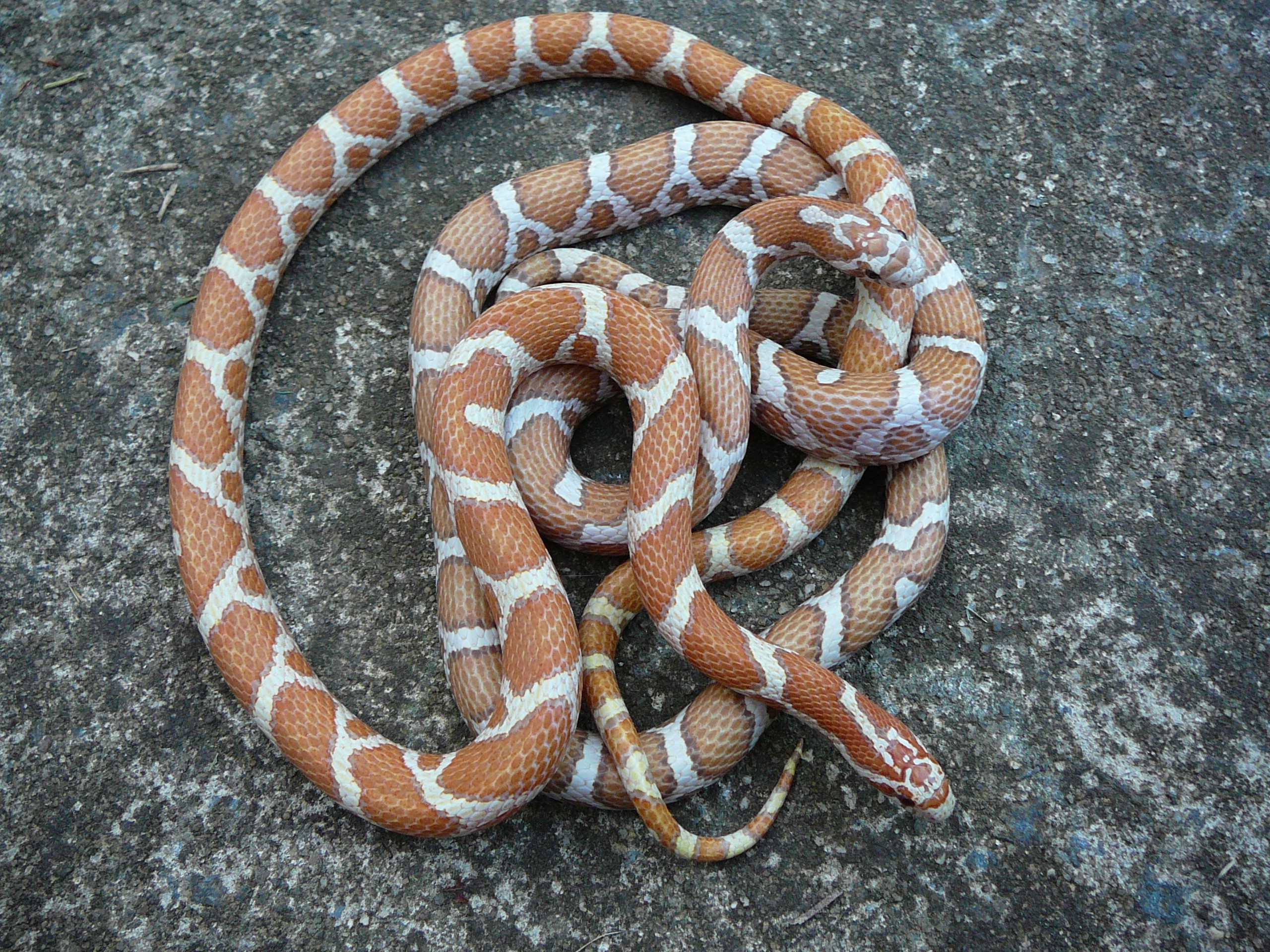 dns reptiles eastern milk snakes rh freewebs com