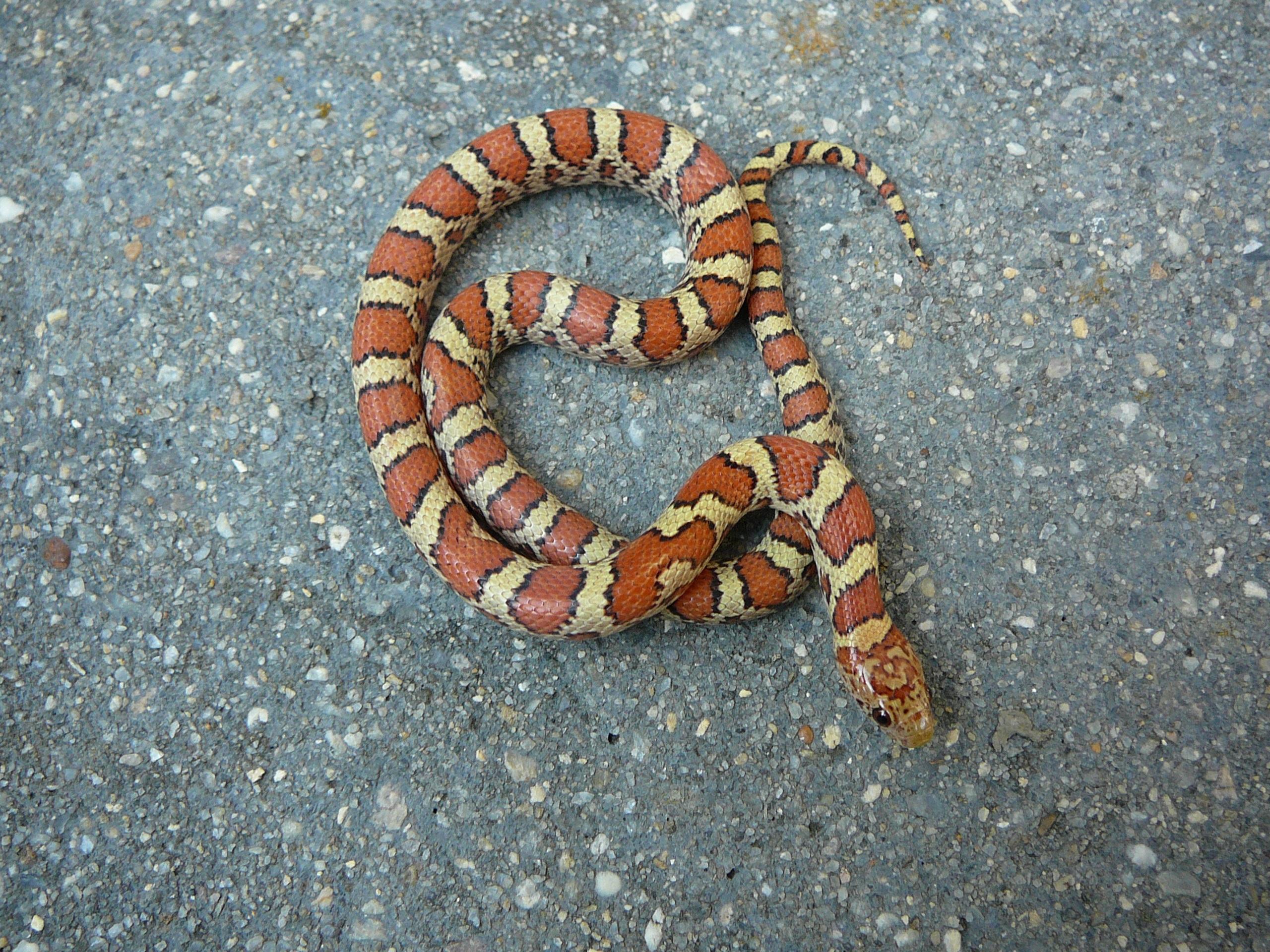 DNS Reptiles Eastern Milk Snakes